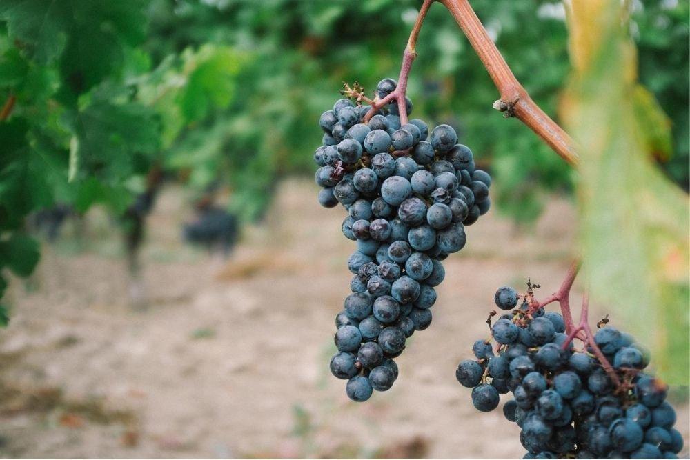 Nebbiolo wine... Tough skin, soft heart!