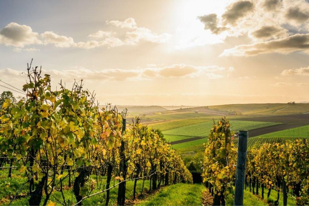 italian grappa wineyard
