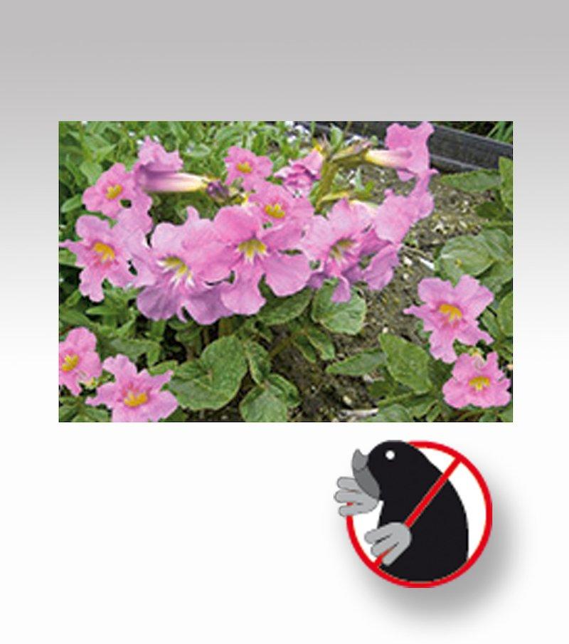 Planta anti topos incarvilea