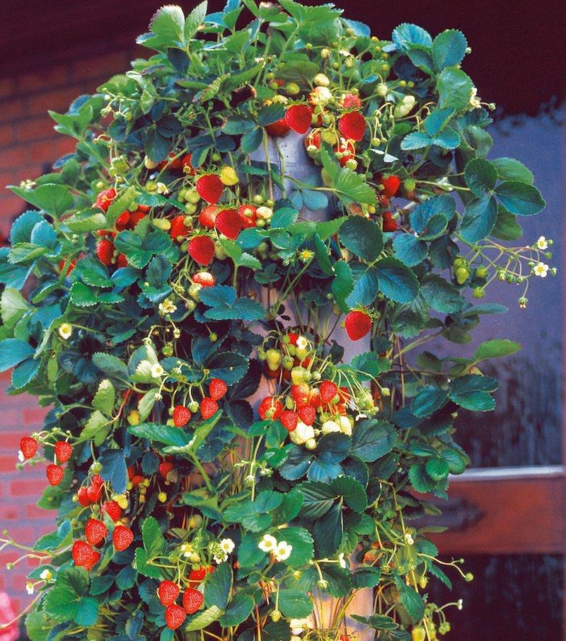 Set de semillas fresas