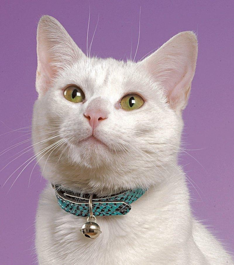 Collar gato